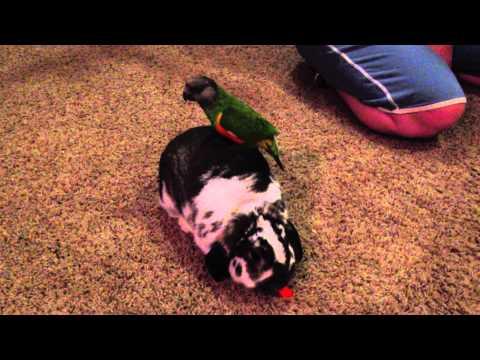 Kiwi (parrot) walking around on Noah (bunny)