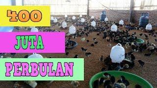 Video Ternak Ayam Kampung Sebulan Tembus 400 JUTA MP3, 3GP, MP4, WEBM, AVI, FLV November 2017