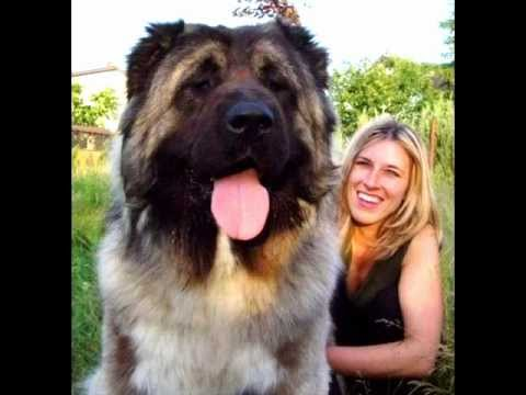world the in biggest dogs
