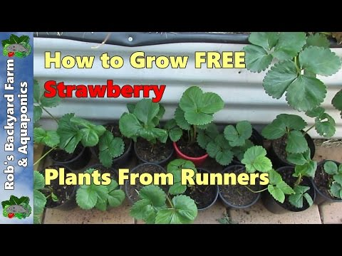 how to transplant ice plant cuttings