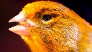 Video Canary singing - Most spectacular 4K video training MP3, 3GP, MP4, WEBM, AVI, FLV Juli 2019