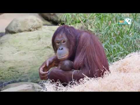 Rostocker Zoo im Baby-Glück - Orang Utan-Nachwuchs such ...