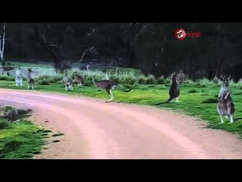 un ciclista fissato in malo modo da alcuni canguri!