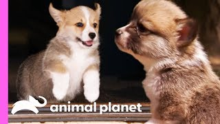 Corgi Pups Explore The World On Their Tiny Legs | Too Cute! by Animal Planet
