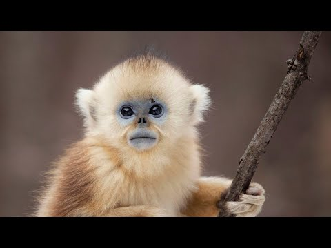 The Monkey With Blue Skin and No Nose | Seven Worlds, One Planet | BBC Earth