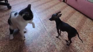 Маленькая собачка против кошки, прикол