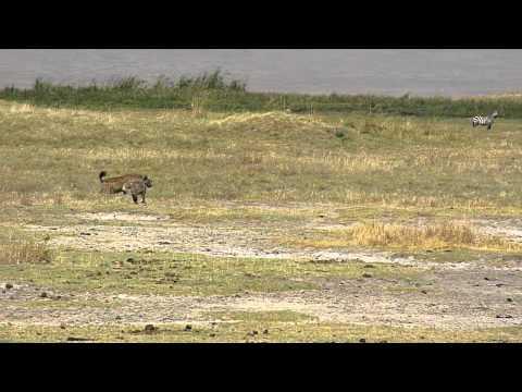 Lions & hyenas face off 1 E