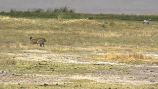 Video Lions & hyenas face off 1 E MP3, 3GP, MP4, WEBM, AVI, FLV Agustus 2019