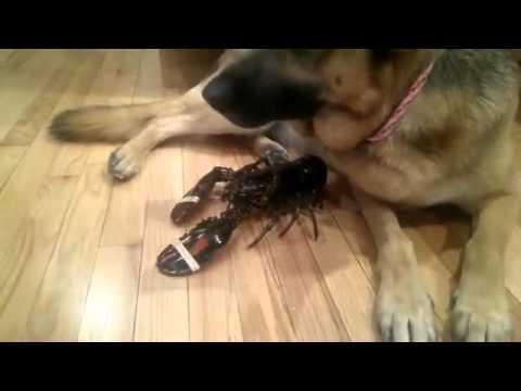 Chú chó bảo vệ tôm hùm