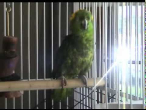 Dewars (Yellow Naped Amazon Parrot) sings a few Melodies