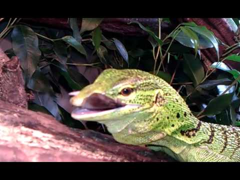 Feeding Time For Green Tree Monitor Lizard