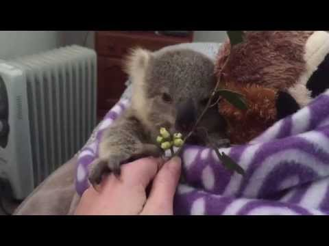 The Tiny Koala with a Remarkable Story
