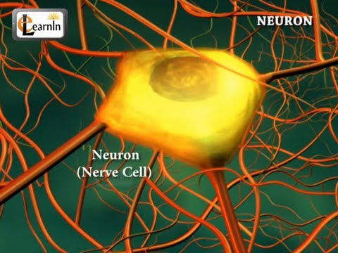 Neurons or nerve cells - Structure function and types of neurons | Human Anatomy | 3D Biology