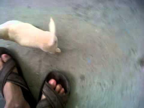bolo dog chihuahua funny