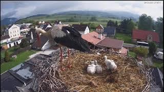 Najsłynniejszy bocian w Czechach wyrzuca piskle z gniazda w transmisji na żywo