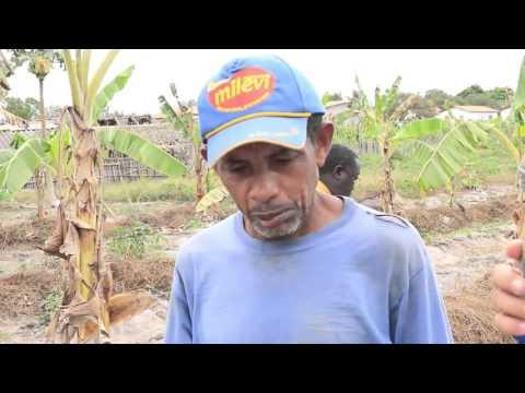 PRODUÇÃO EM AGROVILA    PALMEIRANDIA