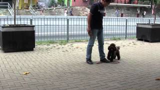 Obedience Training Poodle