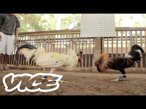 Cockfighting in the Phillipines - A Deadly Billion Dollar Industry