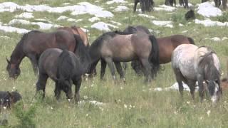 Wildpferde in Bosnien - Wunderschön und zum Träumen - Winnetous Pferde :-)