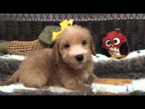 Sweet and Petite, female Mini Labradoodle!