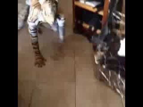 MDR, un homme deguiser en tigre