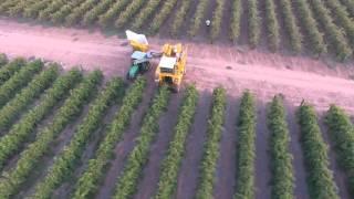 Barmera Australia  City pictures : Grape Harvesting in Barmera, South Australia