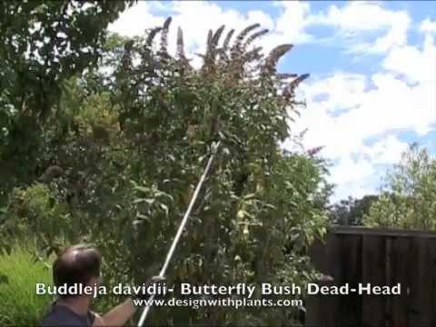 Buddleia - Butterfly Bush - Summer Dead-Head