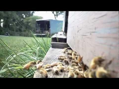 Flight of the Honeybee – Curious Beekeeper – Levac Apiaries