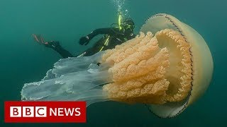 Video Giant jellyfish spotted by divers - BBC News MP3, 3GP, MP4, WEBM, AVI, FLV Juli 2019
