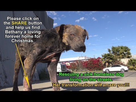 A homeless dog living on the streets gets rescued%2C transformed and is now looking for a home.
