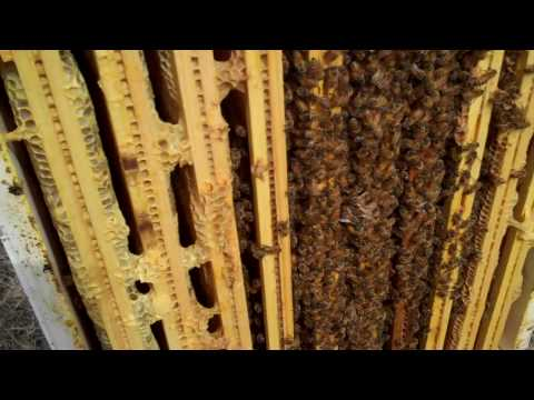 Honey Bee Queens status in March