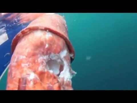超巨型烏賊遭鯊魚啃食…好像GG喔…