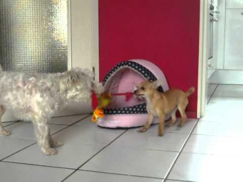 Chihuahua Happy House fun