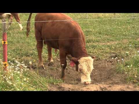 видео откормленные бычки