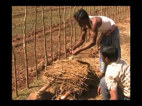 Cultivation practice of paddy straw mushroom Odia PRAGATI Odisha