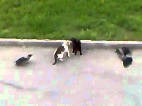 cornacchie caparbie incitano due gatti ad azzuffarsi