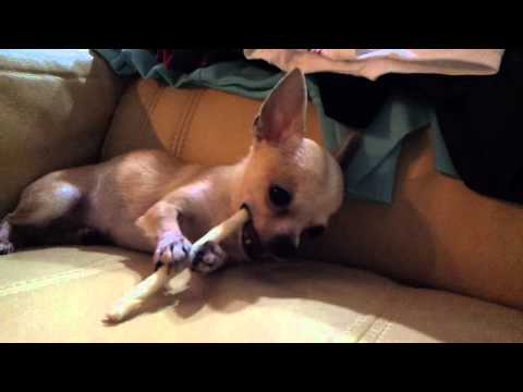 Chihuahua biting milkbone.mp4