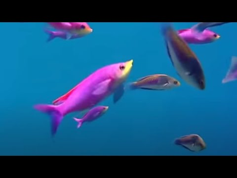 Video Coral reef fish danger - Blue Planet - BBC Environment download in MP3, 3GP, MP4, WEBM, AVI, FLV February 2017