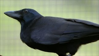Video Are Crows the Ultimate Problem Solvers? | Inside the Animal Mind | BBC Earth MP3, 3GP, MP4, WEBM, AVI, FLV Juli 2019