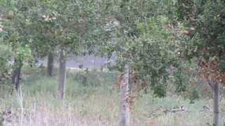 #977 Immergrüne Eichen um das Getty Center