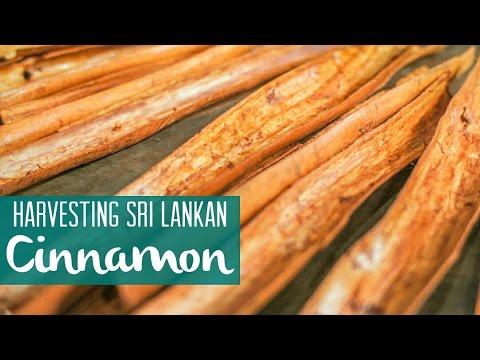 சுத்தமான  கறுவாப்பட்டை  எவ்வாறு பிரித்து எடுக்கின்றார்கள் தெரியுமா ?  Where Cinnamon Comes From
