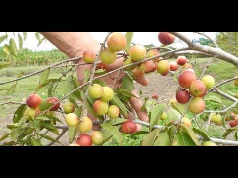 Cultivo e aproveitamento do camu-camu