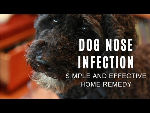 My Dog's Nasty Nose Infection