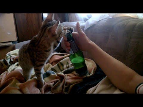 Kissa avaa olutpullon