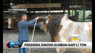 Video Presiden Jokowi Kurban Sapi 1,1 Ton Seharga Rp 85 Juta MP3, 3GP, MP4, WEBM, AVI, FLV Agustus 2019
