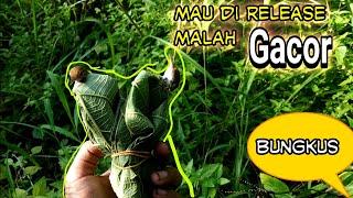Download Video Burung Hasil Mikat Gacor Di Tangan Padahal Mau Di Release MP3 3GP MP4