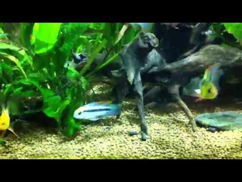 熱帯魚 カラシン系 レインボーテトラ ファラゴテトラ