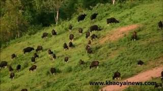 a big gaur herd in khao paeng ma non-hunting area