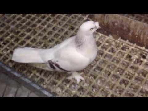 Orjinal Taklacı Ön Tepe Sabuni Güvercin