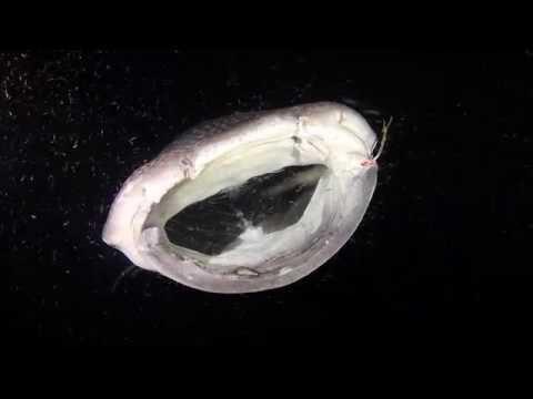 Walvishaai bevrijd van vishaak